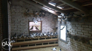 maticno jato golubova