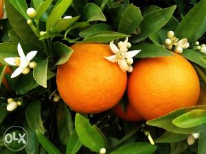 Sadnice narandze (Vasingtonka)