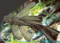 Ancistrus sp. LDA16 longfin