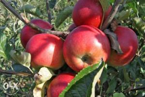 Rakija jabukovaca