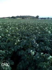 Krompir domaci, Romanijski, AGRIA (žuti)