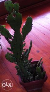 Cvijeće ukrasni kaktus