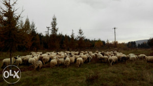 Ovce vise komada