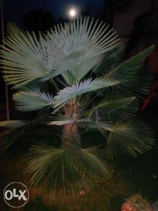 Palma, konika, bonsai, limun, erika