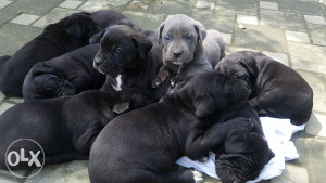 CANE CORSO štenad- odličnog pedigrea