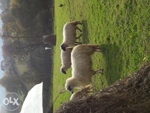 Ovce 4 komada