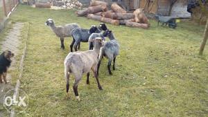 romanovske siljezice i ovce