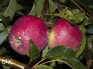 jabukovača rakija