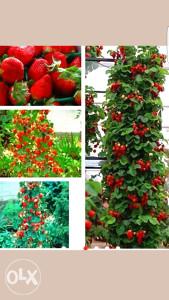 Sjemena jagoda malina kupina