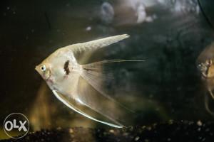 Akvarijumske ribice-Skalari