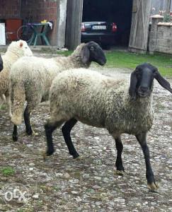 cigaje ovce
