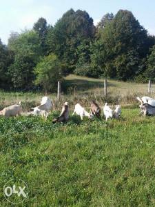 koze i jarad