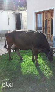 Krava stara 4 godine