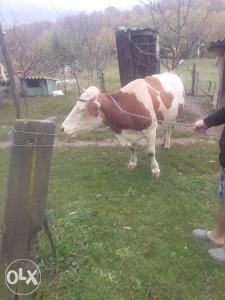 Krava domaće životinje