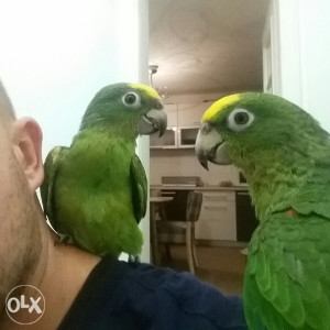 Papagaj ručno hranjeni Žutočeli Amazonci